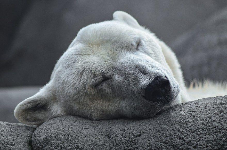 медведь белый картинки фото бурый гризли смотреть онлайн бесплатно скачать видео купить