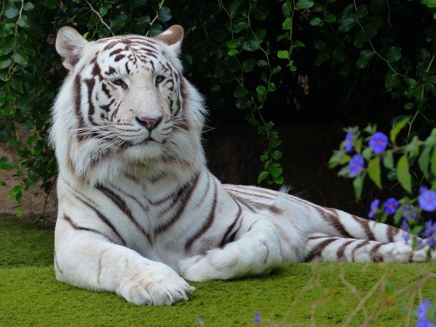 Тигр белый в хорошем качестве фото картинки онлайн