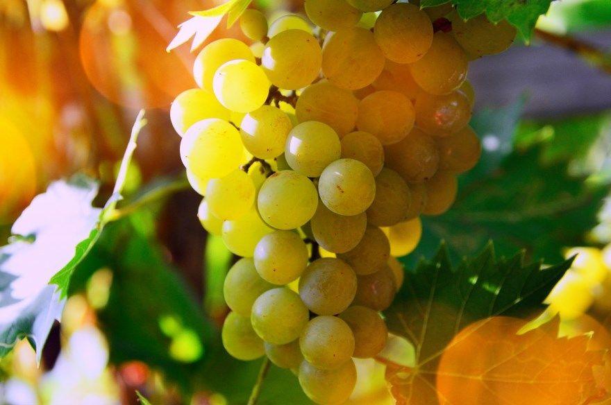 Белый виноград бела домашнее вино домашних условиях рецепты простые описание сорт как сделать отзывы мускат регионе женевского на зиму налет красный