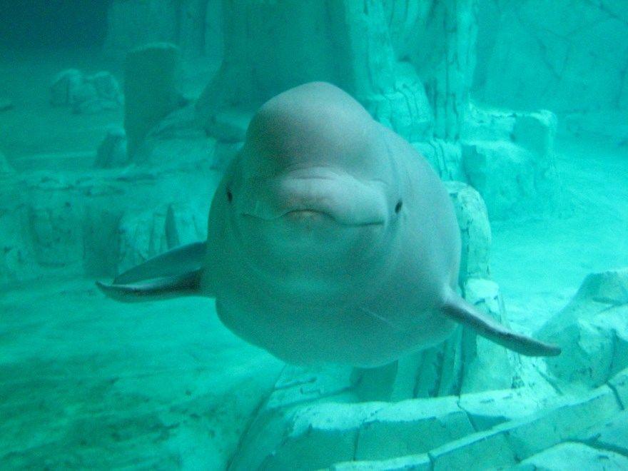 Белуха фото картинки кит дельфин самая большая онлайн рыба онлайн бесплатно смотреть