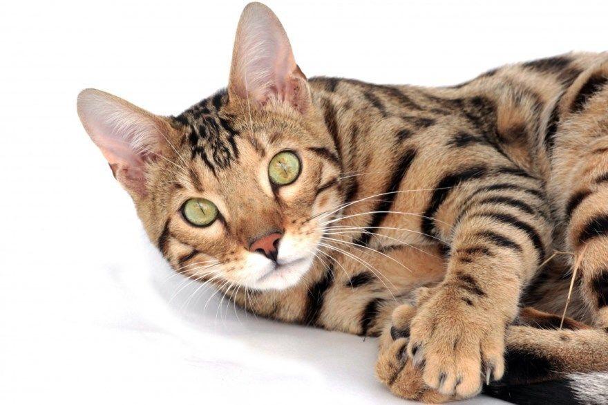 Бенгальская порода кошек котов фото картинки купить питомник скачать смешные бесплатно описание название
