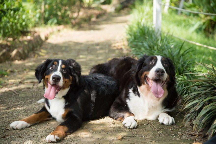 бернский зенненхунд щенки купить фото порода собака цена спб москва авито видео