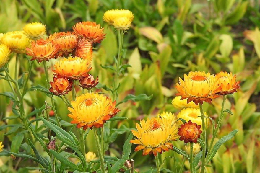 бессмертник фото картинки лечебное полезное свойства растение смотреть бесплатно смотреть