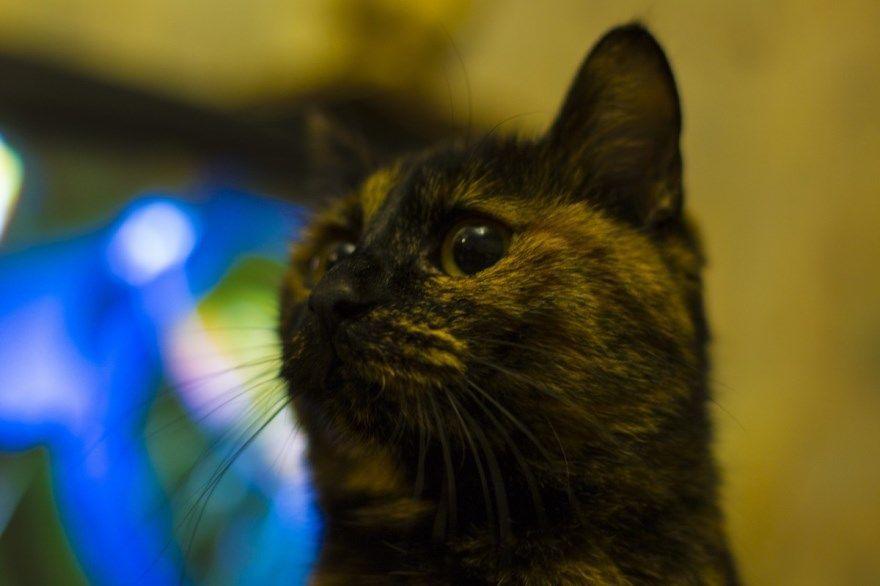 Бобтейл порода кошка кот фото картинки американских описание название бесплатно купить питомник скачать