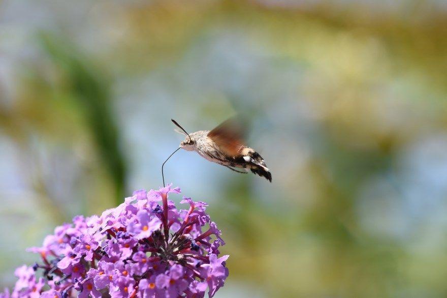 Бражник бабочка фото картинки винного смотреть онлайн бесплатно
