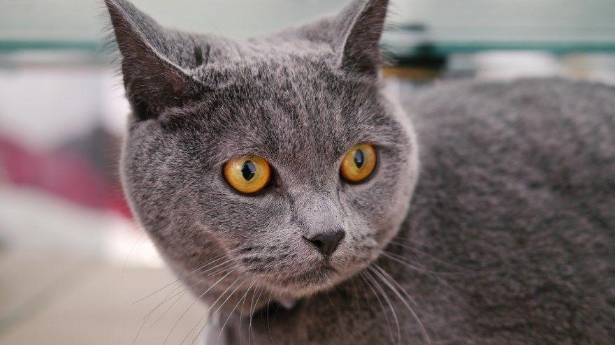 Британская порода кошек котов фото вислоухая серый окрас желтые глаза домашние скачать купить питомник