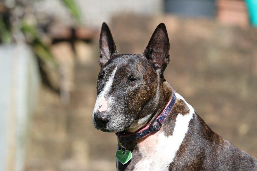 бультерьер щенки купить фото порода собака цена спб москва авито видео