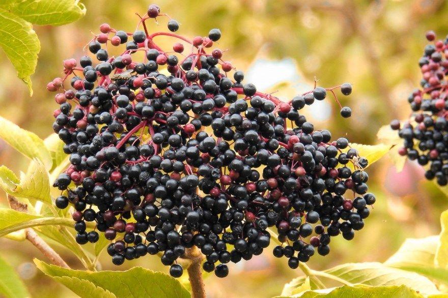 бузина черная ягоды фото картинки лечебное растение купить магазин травянистое скачать бесплатно смотреть