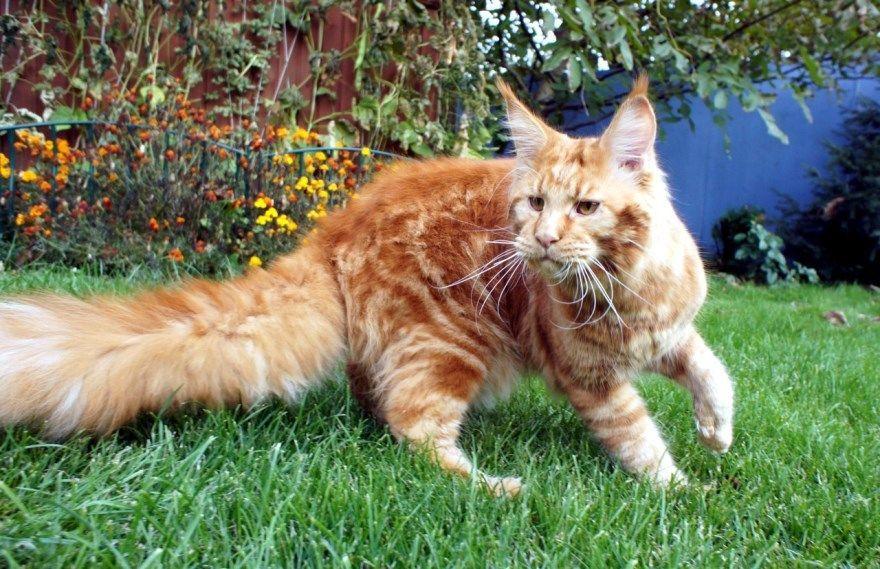 Кошка кот цена купить питомник бенгальская абиссинская вислоухая мейнкун бурманская ориентальная британская шотландская русская голубая