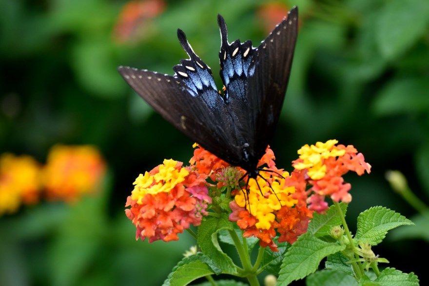 Бабочка черная с пятнами черно-красная в хорошем качестве бесплатно онлайн