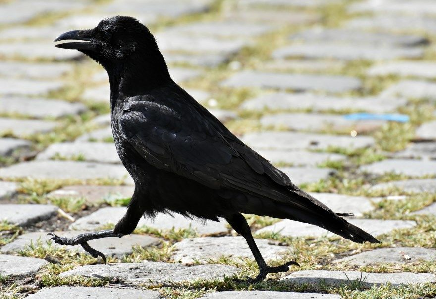 Ворона черная серая белая фото смотреть бесплатно смотреть скачать онлайн хорошее качество