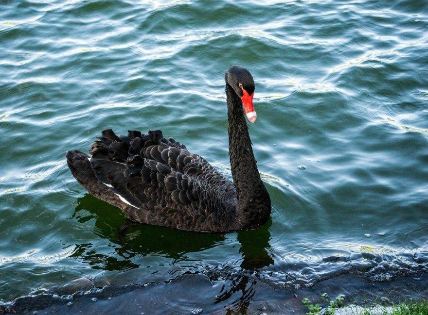 черный лебедь фото картинки скачать бесплатно онлайн в хорошем качестве