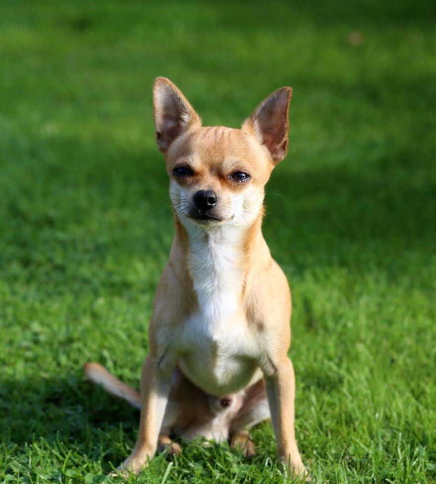 чихуахуа щенки купить фото порода собака цена спб москва авито видео
