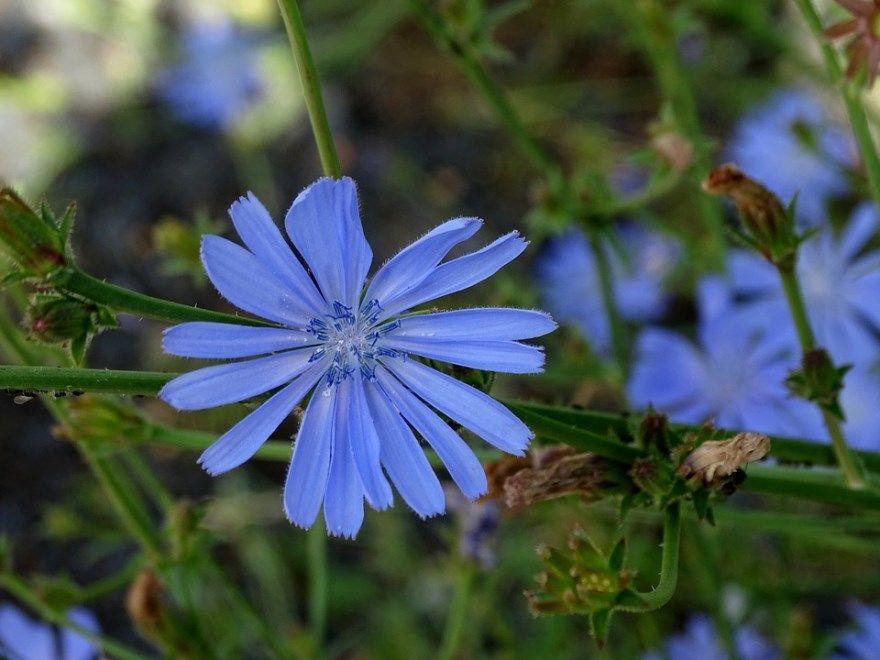 Цикорий фото картинки с полезными свойствами лечебные обыкновенный цветок День при грудном вскармливании корневой цветок вред для здоровья отзывы сколько противопоказания свойства растворимого можно ли купить