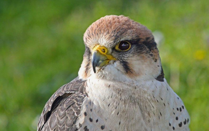 сокол фото картинки птица животное в россии москва ростов саратов красивые смотреть скачать бесплатно онлайн в хорошем разрешении