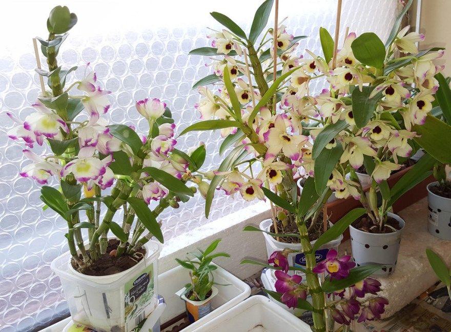 Дендробиум фото купить обрезка цветущий красивый домашние условия бесплатно посадка открытый грунт осенью на зиму