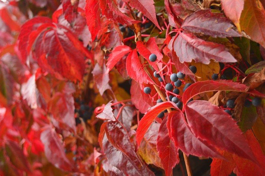 Девичий виноград фото уход купить посадка осенью черенки пятилисточковый размножение зимой дизайн ландшафтный саженцы семян ягоды обрезка сибири