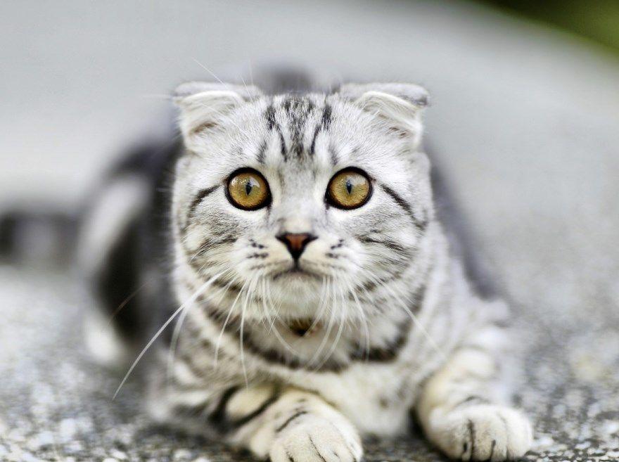 Девочка кошка порода фото картинки имя легкие клички красивые редкие шотландские британские