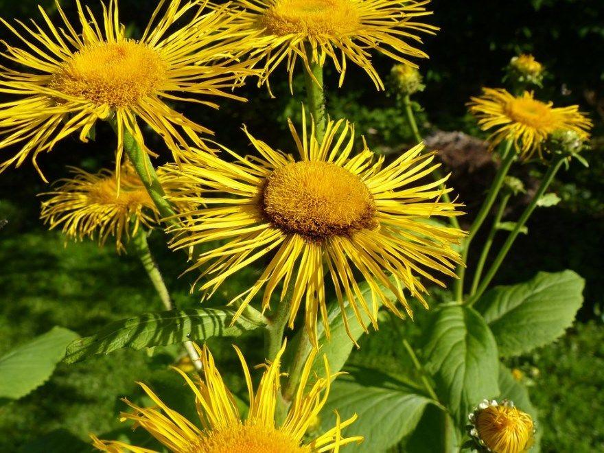 девясил фото картинки растения полезными качествами лечебными корнями помогающего при кашле купить магазин