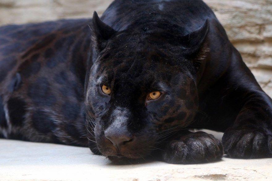 Пантера фото картинки животное черная пятнистая