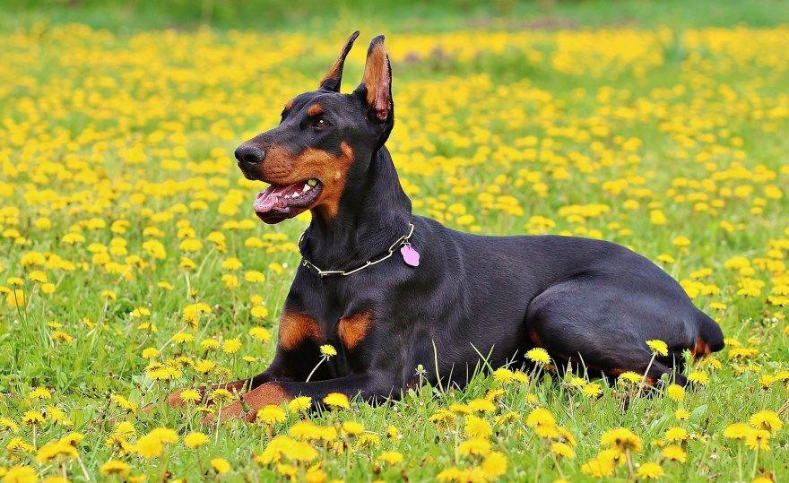Доберман пинчер щенки купить фото порода собака цена спб москва авито видео