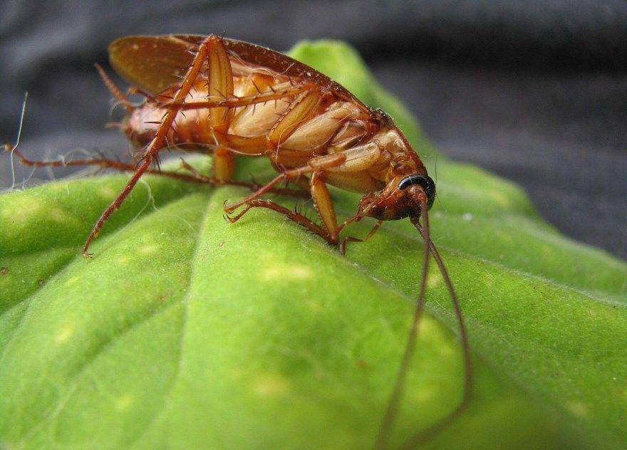 Таракан домашний насекомое животное фото картинки обычного онлайн бесплатно в квартире завестись лучшие смотреть