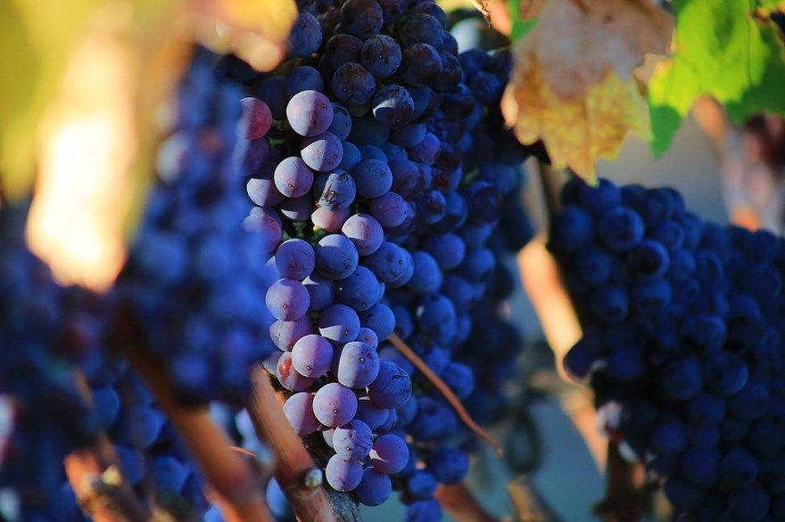 Домашний виноград условиях вино рецепты простой изабелла чача пошаговый фото уход магазин сорт осень на зиму