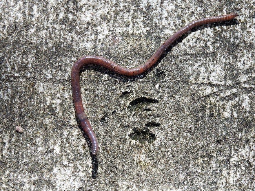червь дождевой фото картинки скачать бесплатно онлайн в хорошем качестве