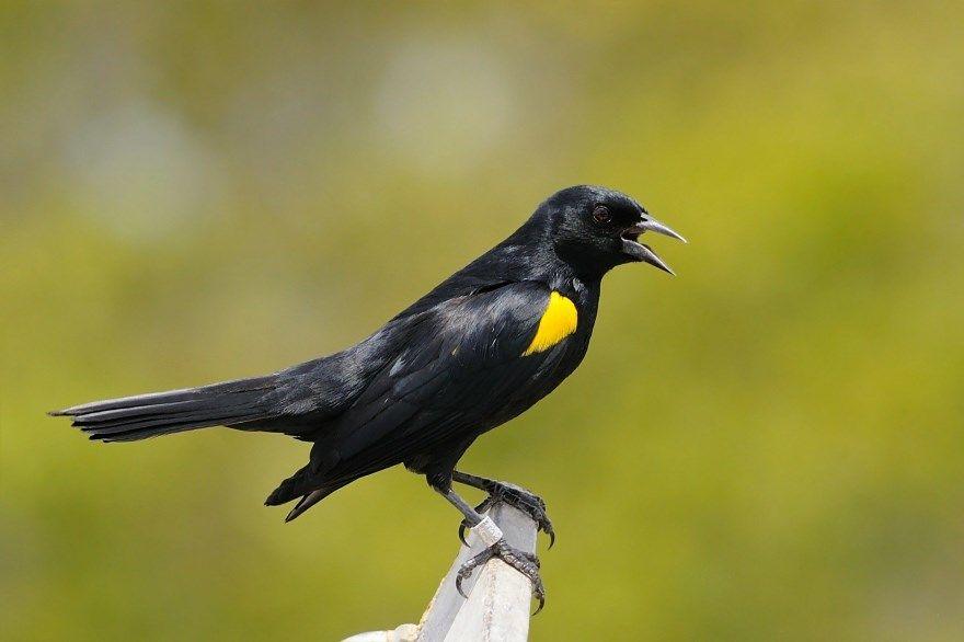 Дрозд птица черный онлайн смотреть фото скачать бесплатно