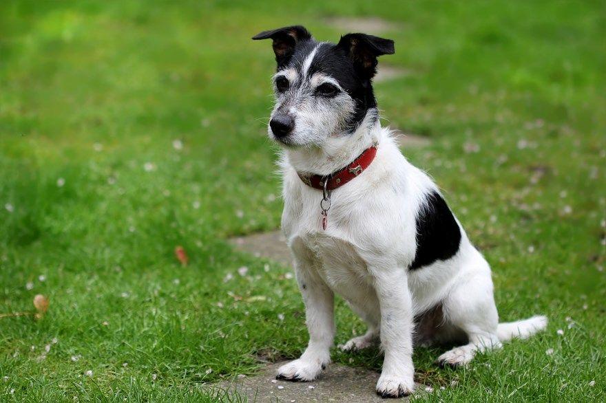 джек рассел терьер щенки купить фото порода собака цена спб москва авито видео