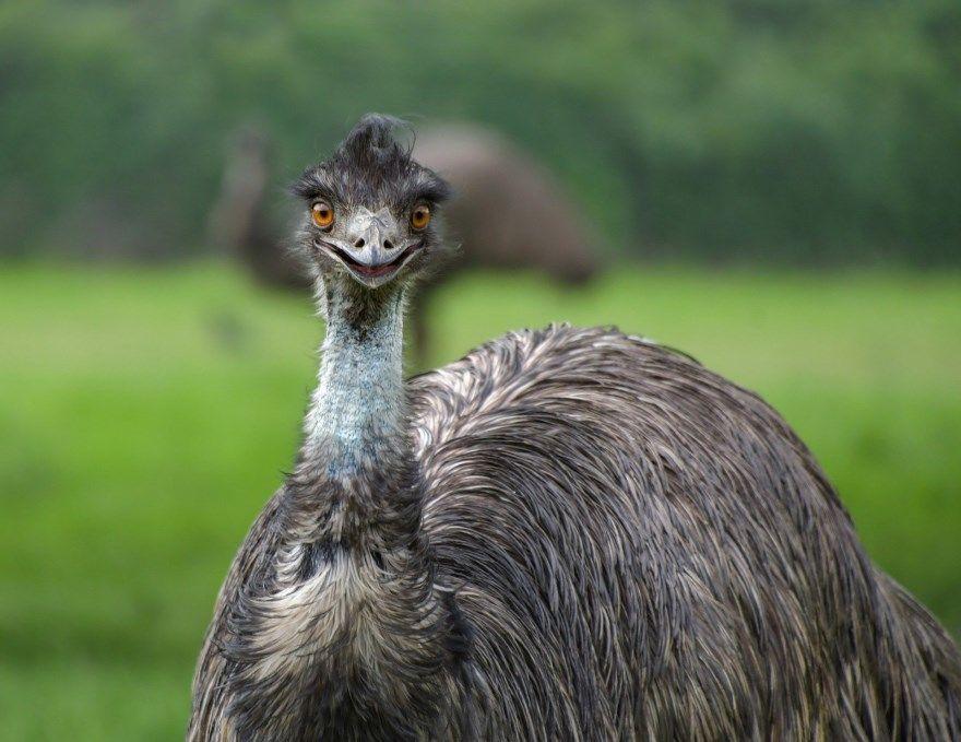 эму страус птица фото картинки скачать бесплатно онлайн в хорошем качестве