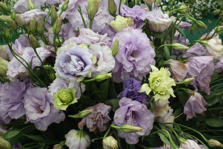 Эустома фото уход цветок посадка семена выращивание домашние условия купить многолетняя роза горшке сеять сибири условия рассада