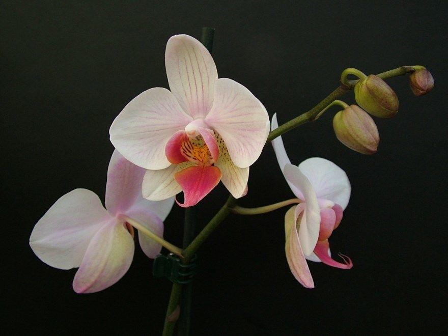 Фаленопсис орхидея домашние условия фото уход условия купить лист сорта корни после детка название пересадка что делать цветущая болезни магазина мини белый полив лечение