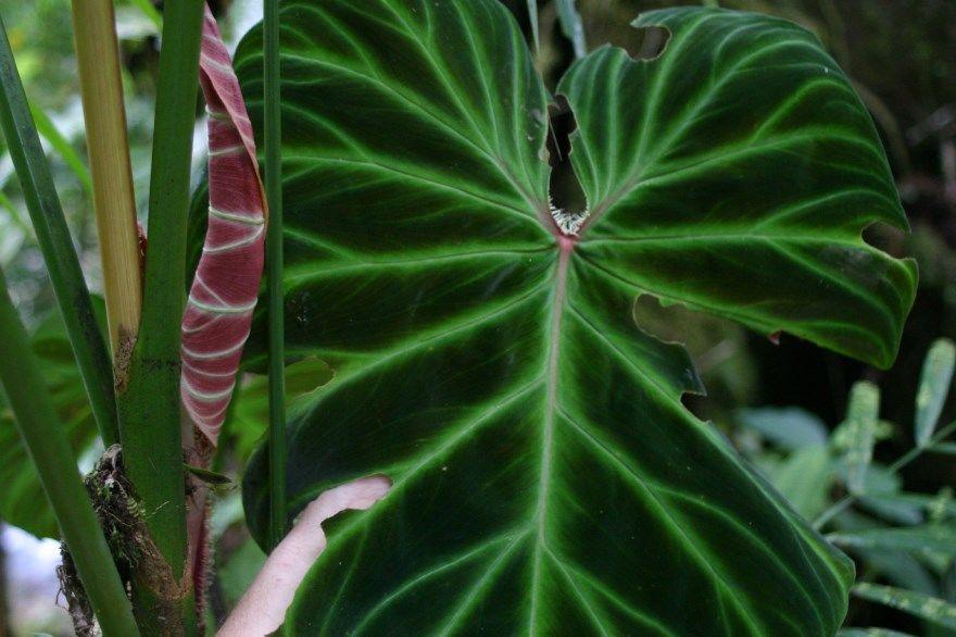 Филодендрон фото уход виды домашние условия название купить лазящий цветок краснеющий комнатный атом ред сканденс листья