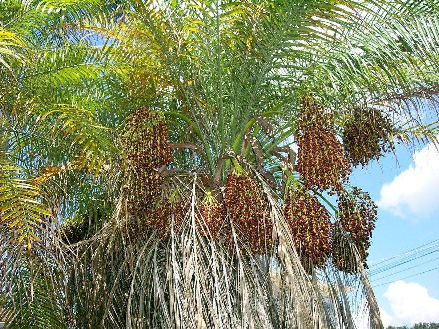 Финик канарский полезные плоды растения дерево цветок бесплатно смотреть польза организм китайский домашний
