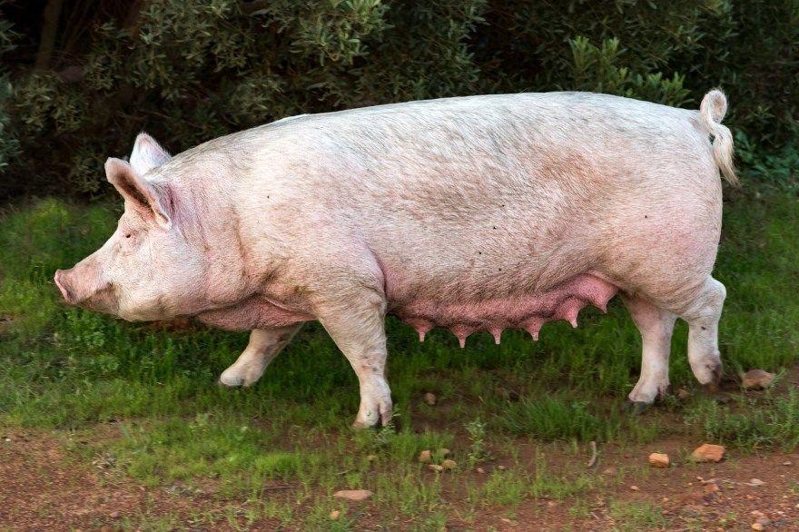 свинья фото картинки скачать бесплатно онлайн в хорошем качестве животное