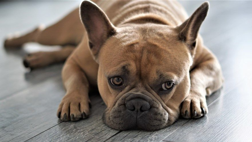 Французский бульдог щенки купить фото порода собака цена спб москва авито видео