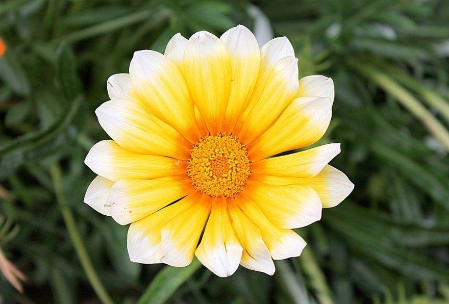 Гацания фото уход цветок посадка семена выращивание многолетник однолетник сохранить зимой цвет открытый грунт сажаем дома кисс