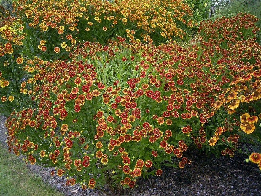 Гелениум фото многолетний уход посадка цветок осенний семенами открытый грунт описание ароматный хупа сорта на зиму выращивание гибридный подготовка овощные