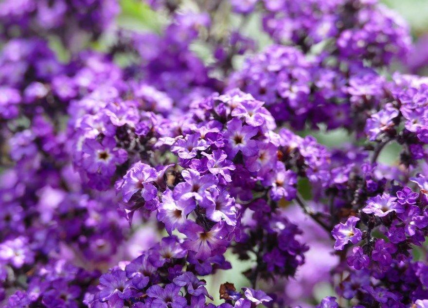 Гелиотроп камень фото цветок уход посадка купить цвет свойства семена открытый грунт выращивание растение знак травянистые морской минерал магические бриз перуанский
