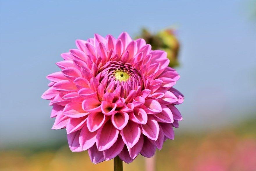 Георгин как хранить клубни когда выкапывать фото сохранить хранение на зиму домашних условиях осенью весна корень цветы сорта после однолетние видео описание цвет в квартире