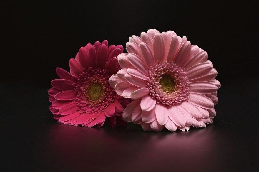 гербера фото картинки домашние условия отличный букет цветы комнатные растения простой уход с листьями садовые