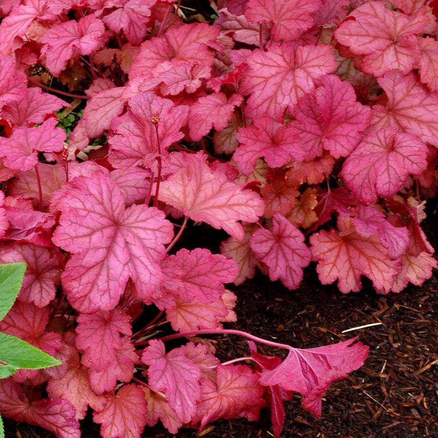 Гейхера фото посадка уход в открытом грунте посадка купить сорта описание осенью на зиму виды названия растение гибридная в дизайне красная цветов