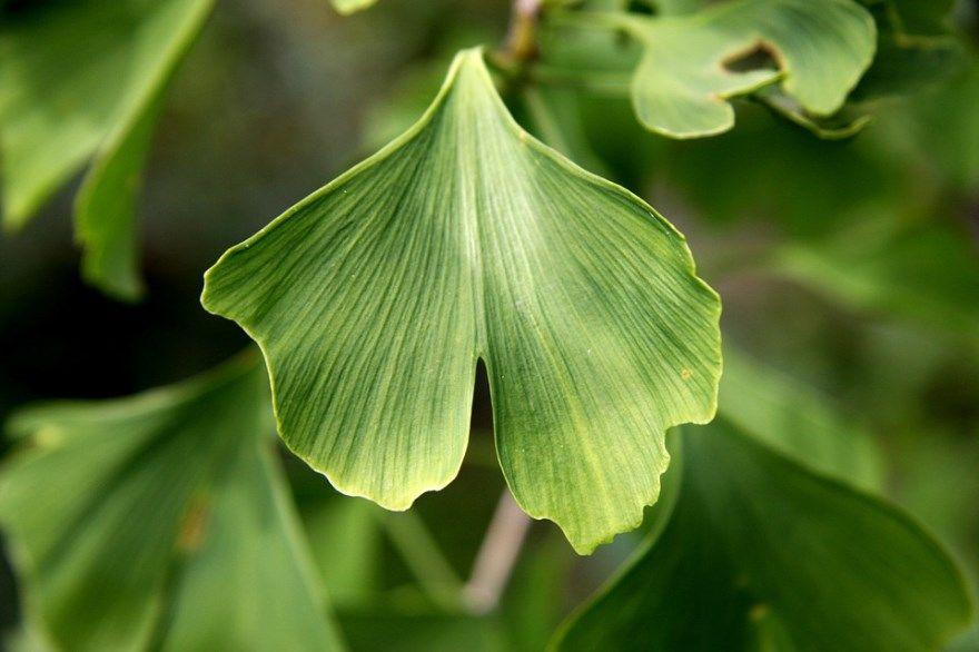 Гинкго билоба инструкция отзывы применение купить цена эвалар листья двулопастный таблетки растение капсулы бад как принимать форте лучшая