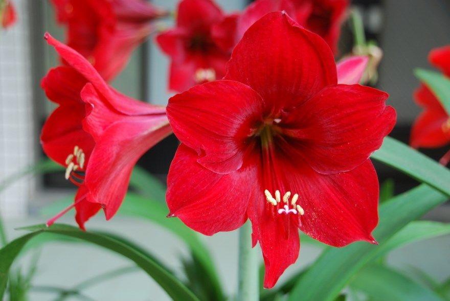 Гиппеаструм фото уход домашняя цветок луковицы купить цветущий листья комнатный растение почему не цветет амариллис пересадка после как выглядит красный