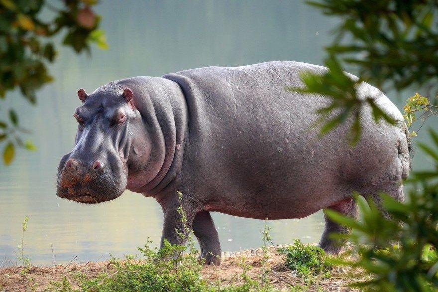 Гиппопотам животное бесплатно фото лучшие онлайн скачать в хорошем качестве бегемот