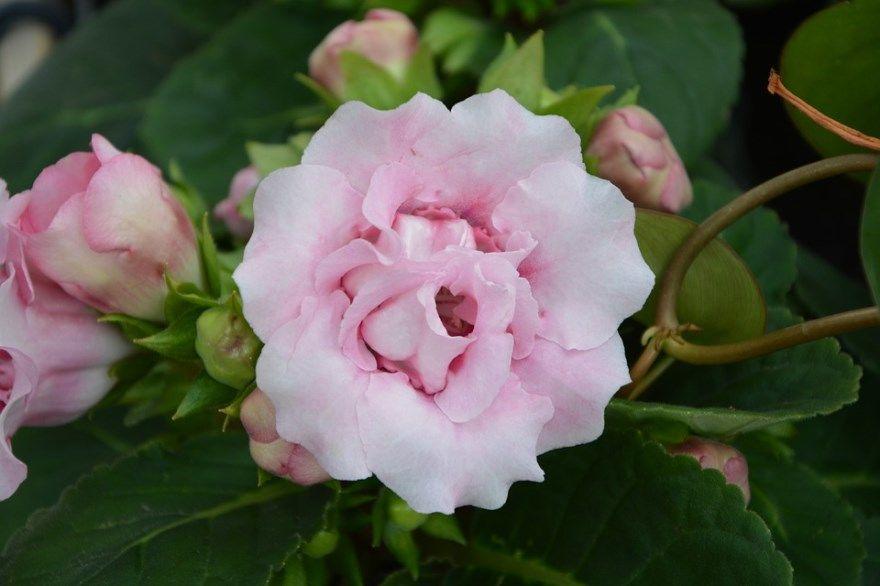 Глоксиния фото картинки домашние условия комнатные открытый грунт растение цветок скачать бесплатно