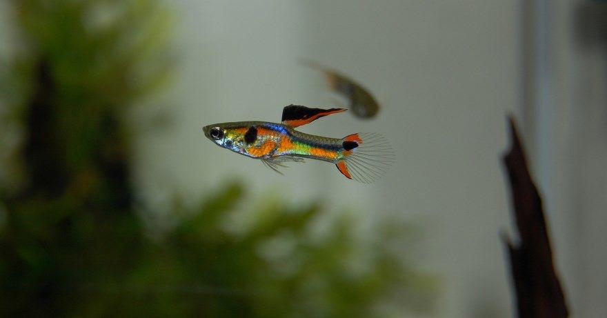 Гуппи рыбка фото скачать лучшие веселых онлайн хорошее качество