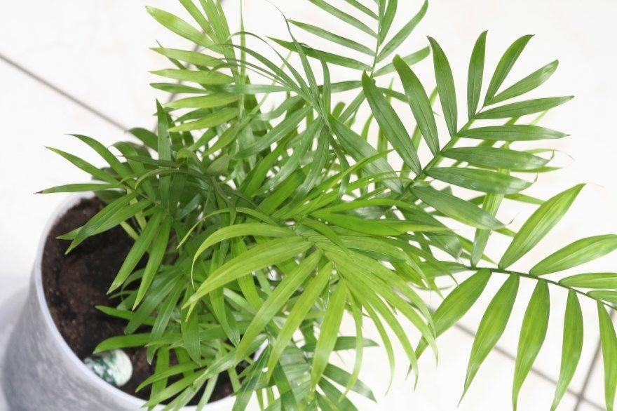 Хамедорея уход в домашних условиях элеганс цветок изящная листья бридбл пальма сохнет приметы вред как цветет цветение польза и вред покупки