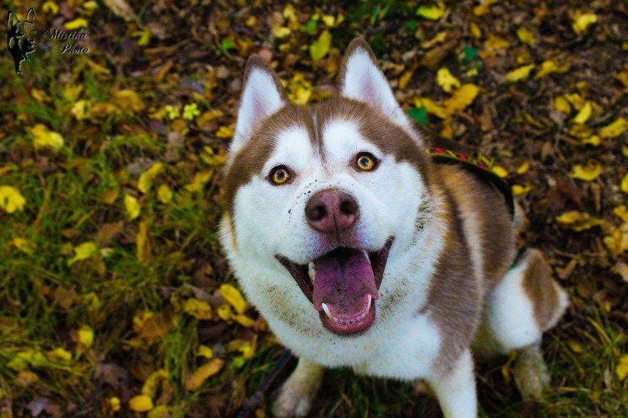 Сибирский хаски щенки купить фото порода собака скачать смотреть цена спб москва авито видео